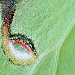 luna moth eye spot