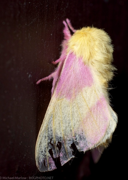 rosy maple moth with tattered forewing