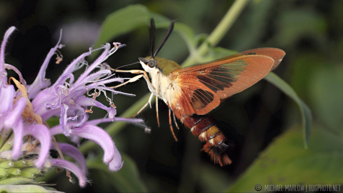hummingbird clearwing moth feeding at flowers