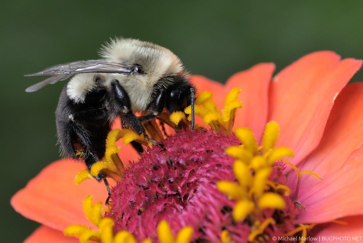 bumblebee on zinnia