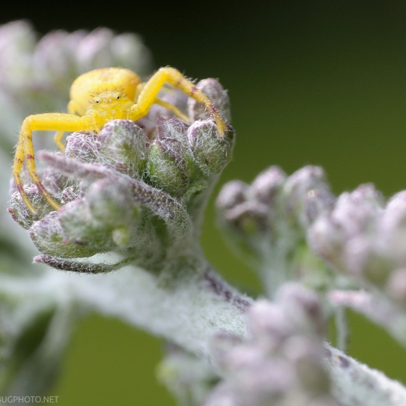 crab spider on butterfly bush buds
