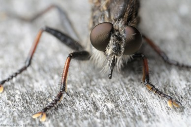 Robber Fly (Efferia sp.) Portrait