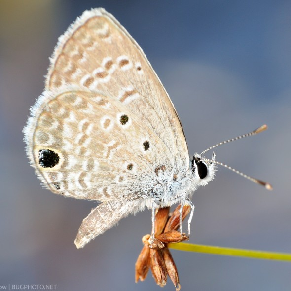 Ceraunus blue butterfly perched on a stem