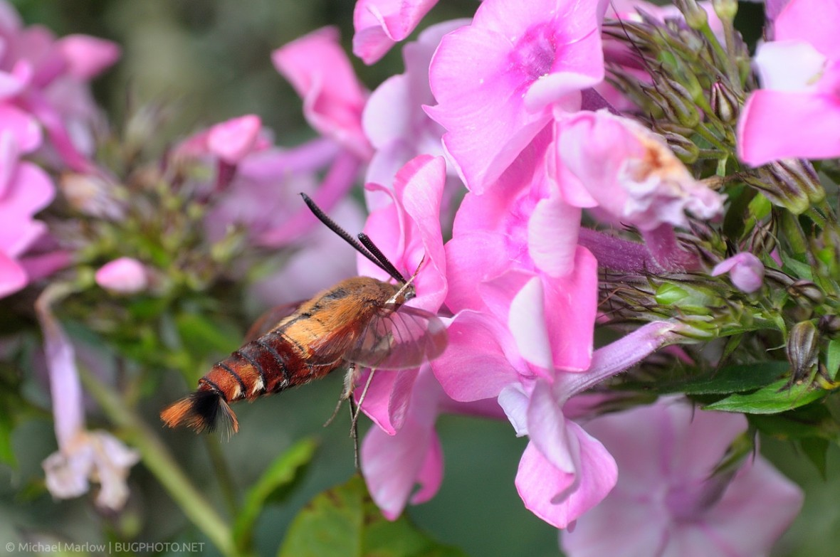 Hummingbird Clearwing feeding at Phlox flowers