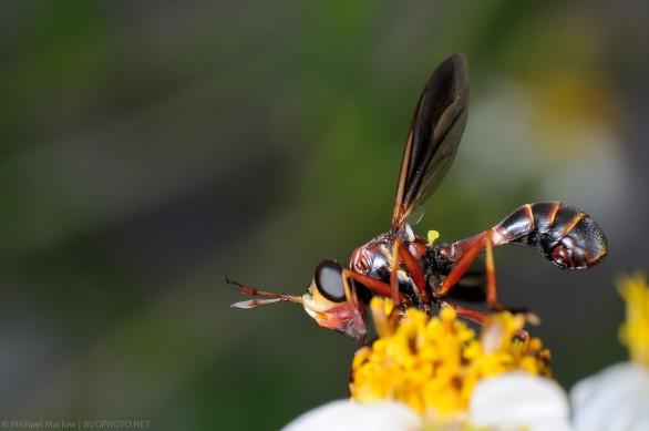 thick-headed fly mimics thread-waisted wasp