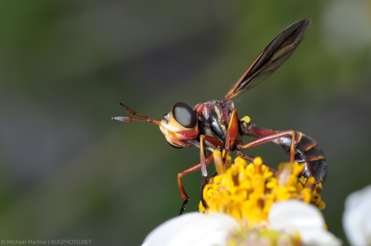 thick-headed fly mimics thread-waisted wasp