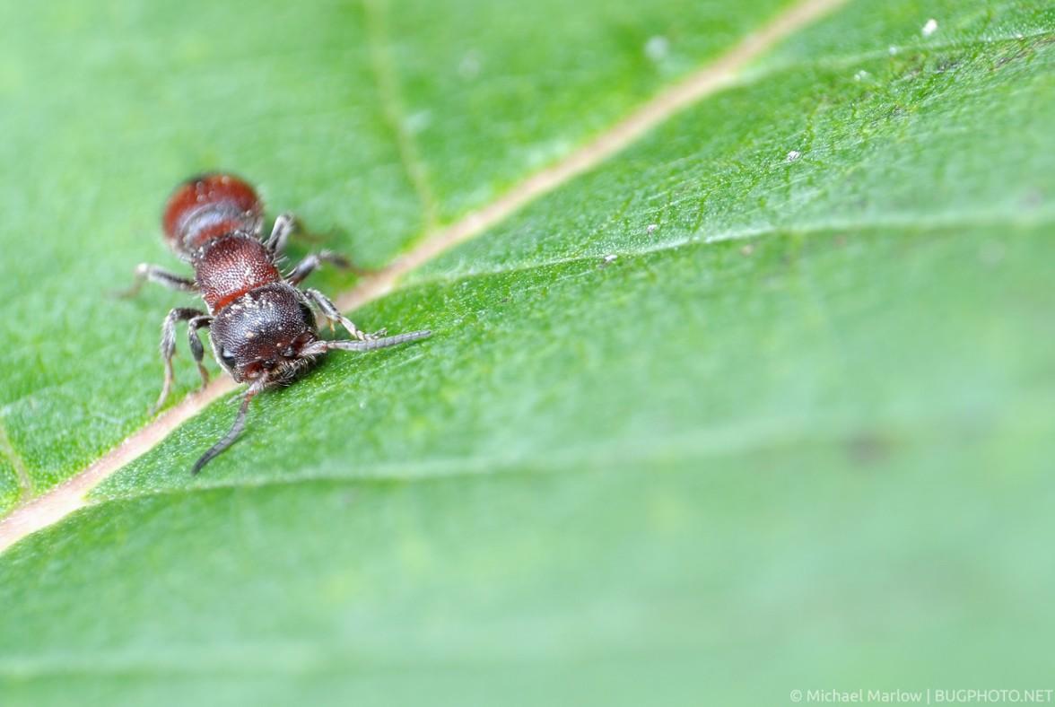 head on view of velvet ant on milkweed leaf