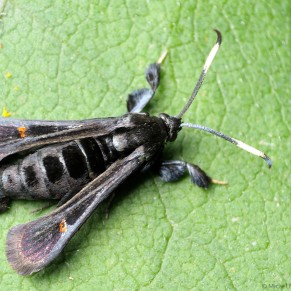 Albuna fraxini - Virginia Creeper Clearwing dorsal view