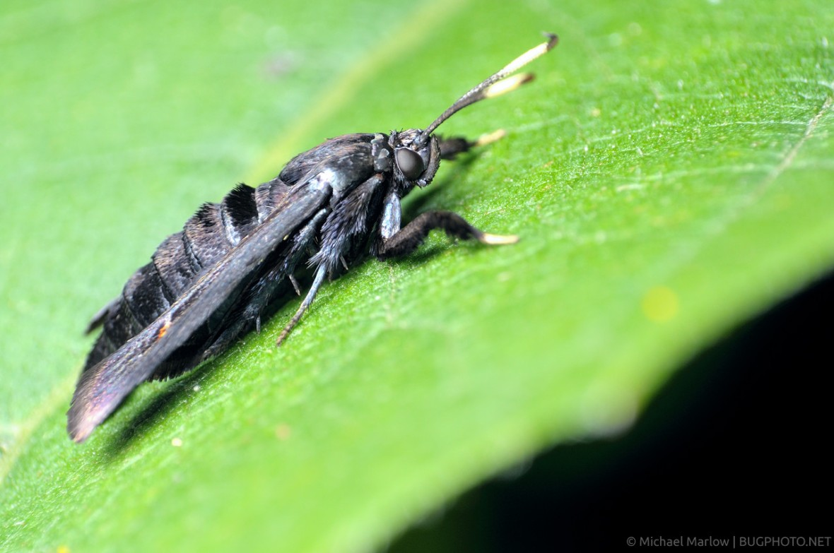 Albuna fraxini - Virginia Creeper Clearwing profile view