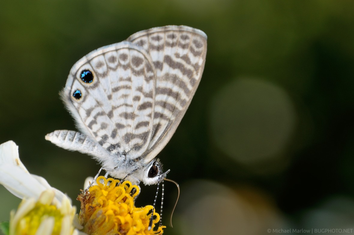 Ceraunus blue butterfly feeding on a wild flower