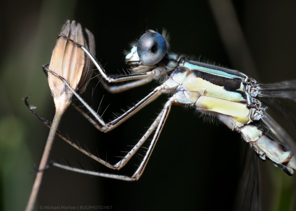 damselfly perched head and thorax