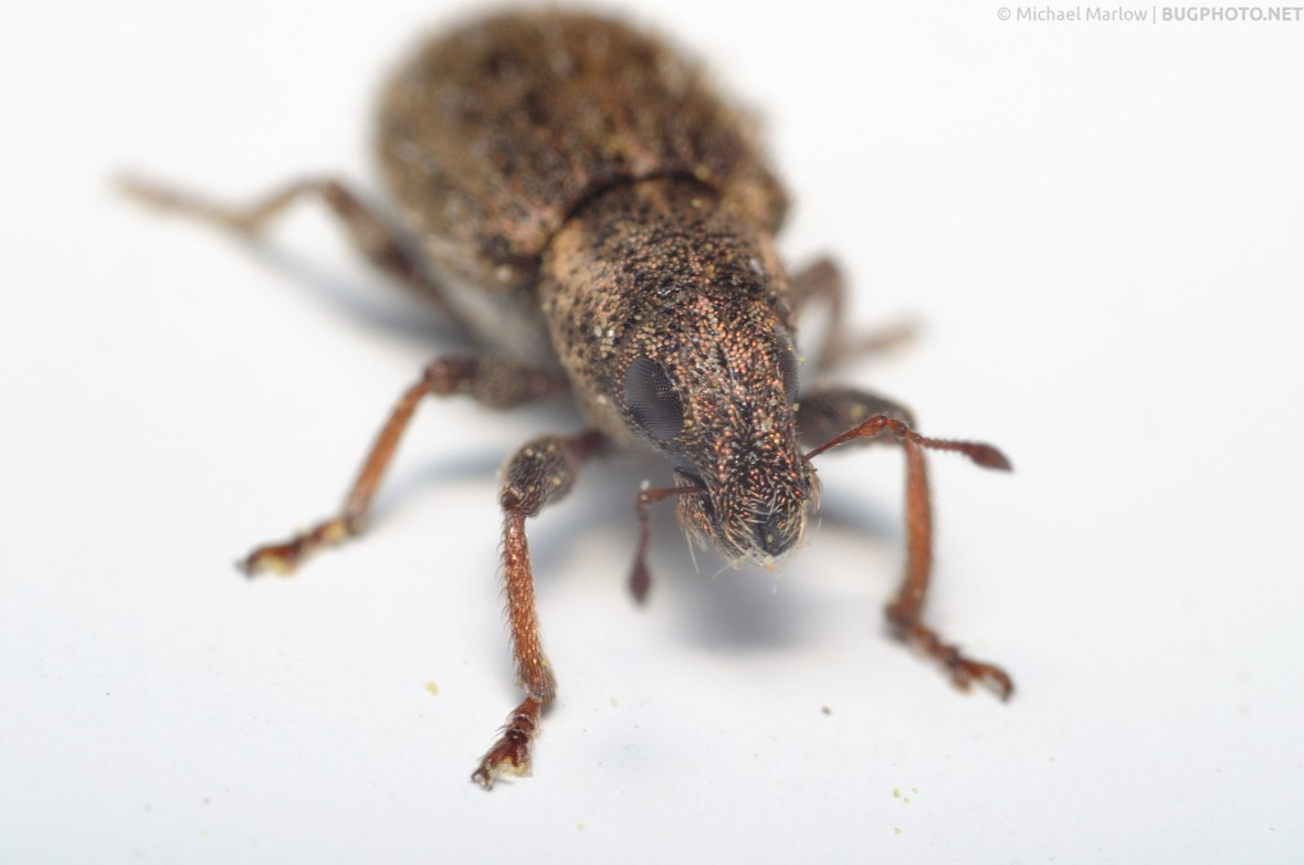 weevil on a window frame