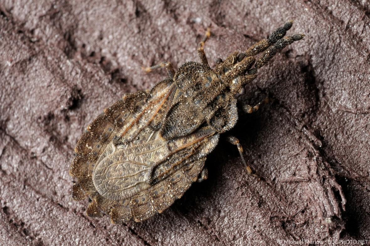 flat bug adult