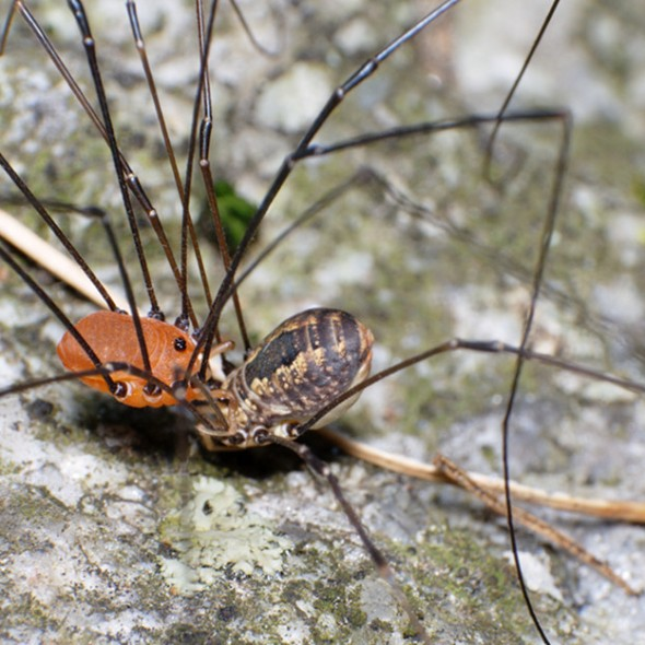 harvestmen mating