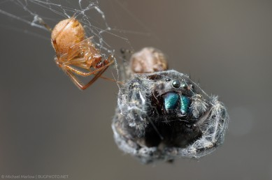 house spider with jumping spider prey