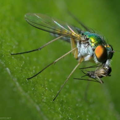 long-legged fly with prey