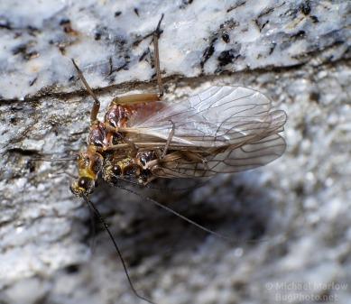 mating stoneflies