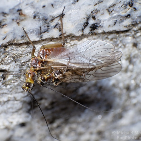 mating stoneflies