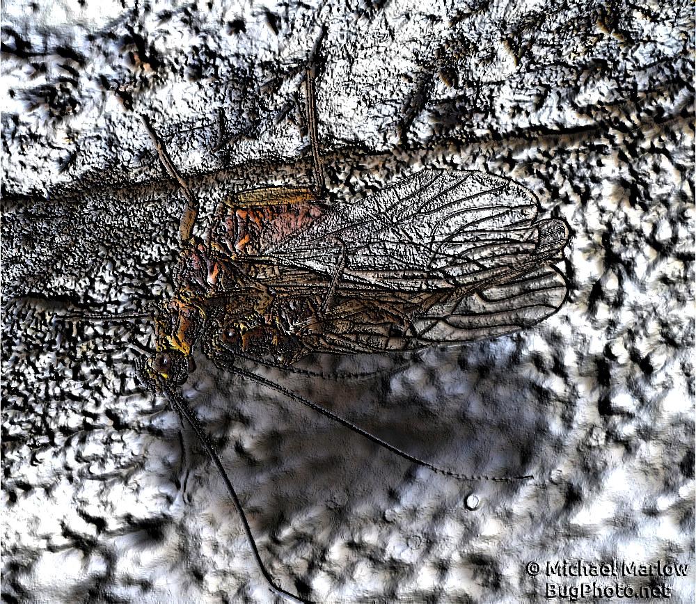 stoneflies mating edited with GIMP