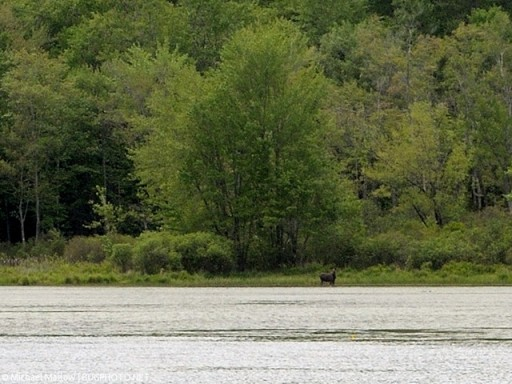 moose at far end of the pond