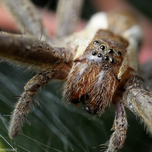 nursery web spider face super close up