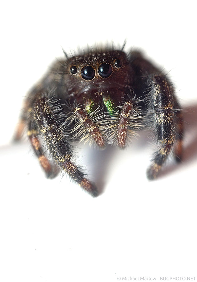Phidippus audax on white backgroun