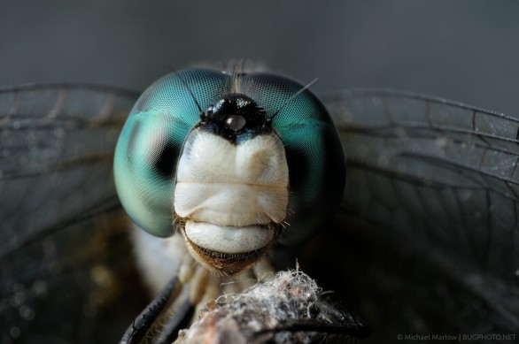 Pachydiplax longipennis – Blue Dasher Dragonfly Portrait