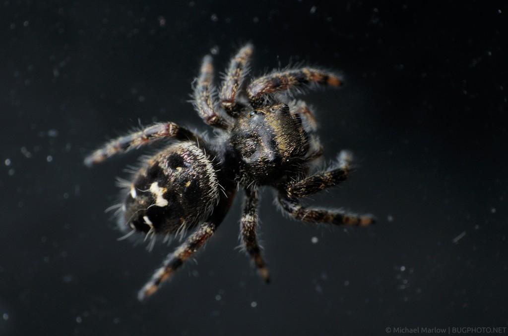 Phidippus audax jumping spider dorsal view