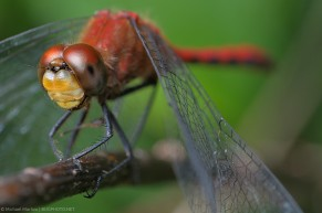 red dragonfly possible meadowhawk
