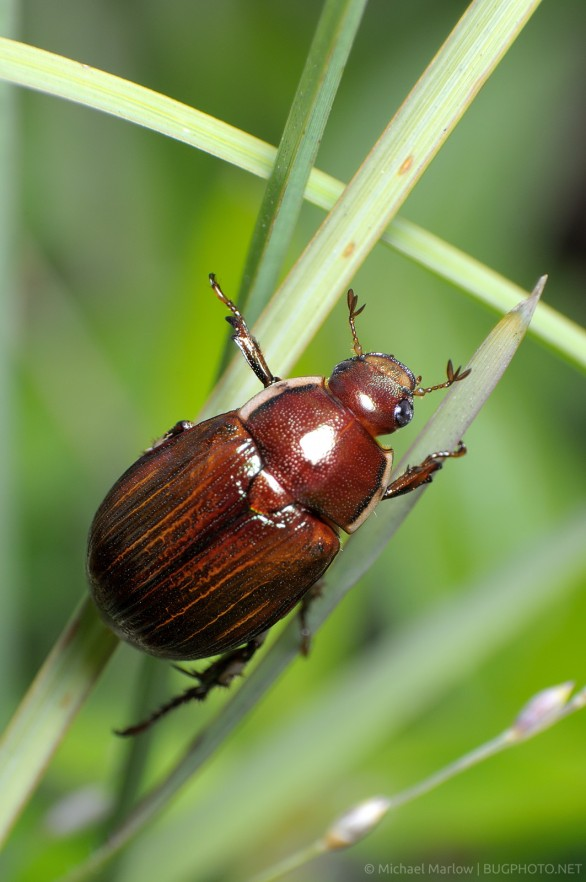 scarab beetle on grass dorsal view