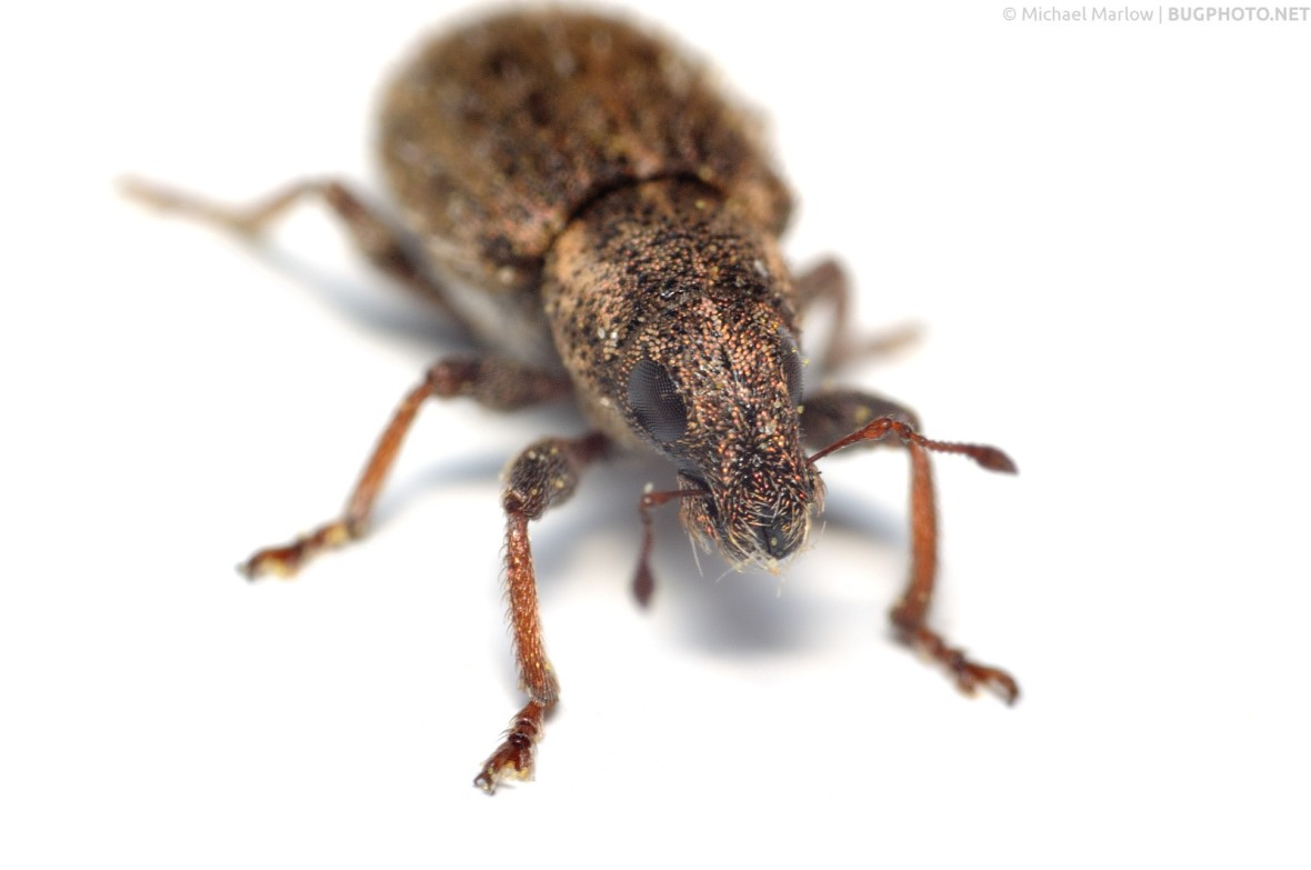 weevil on window frame