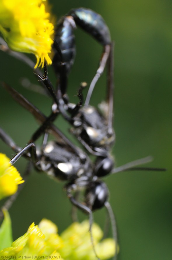 out of focus thread-waisted wasps mating