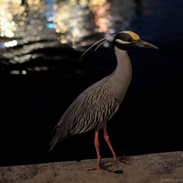 Yellow-crowned Night Heron in front of the lights on the water