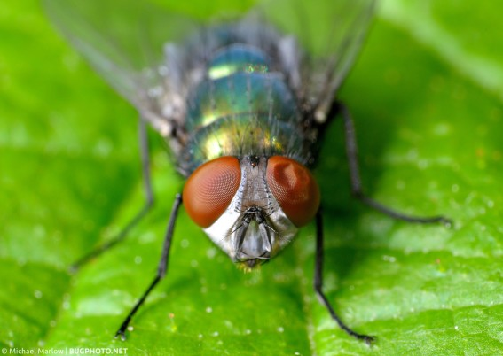 portrait of a blow fly with dented eye