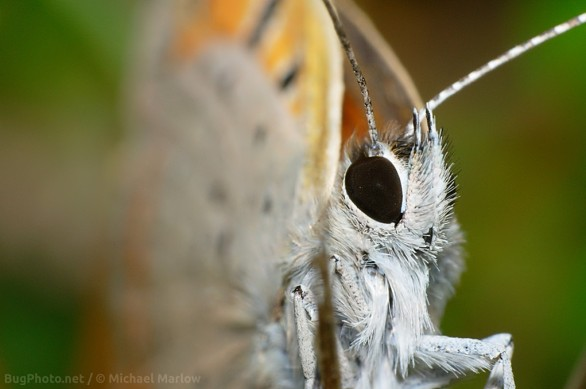 little copper butterfly