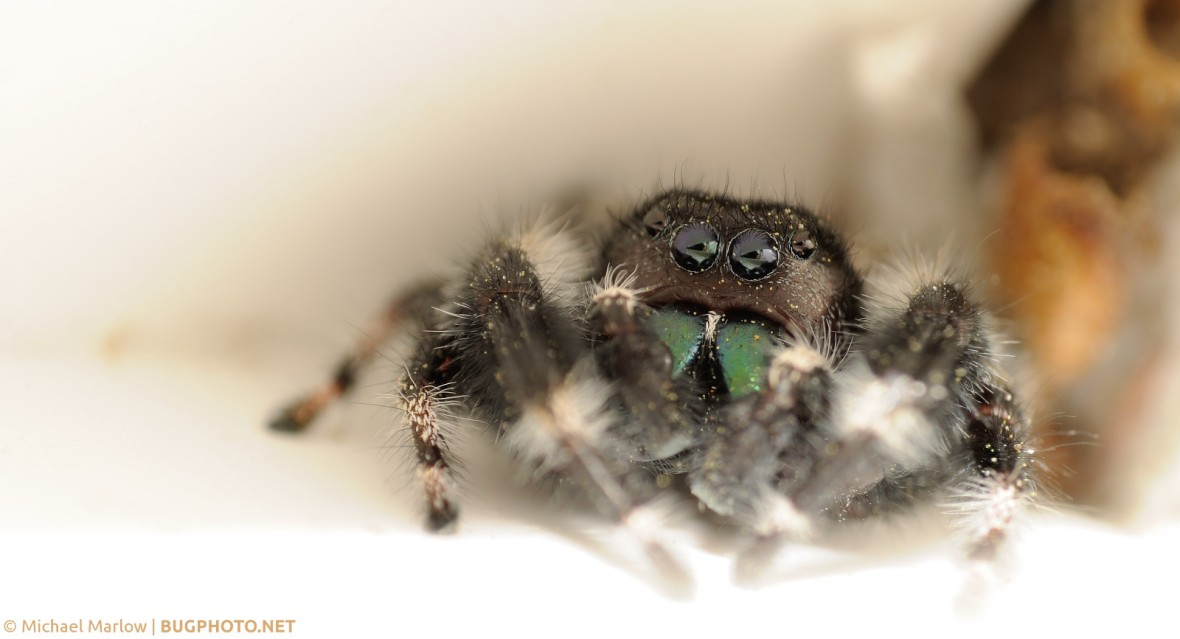 Phidippus audax jumping spider inside white vinyl window frame