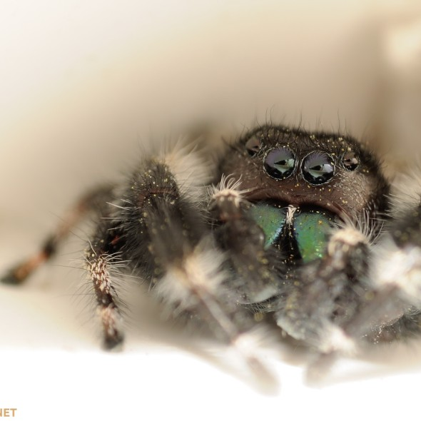 Phidippus audax jumping spider inside white vinyl window frame