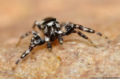 pelegrina species jumping spider
