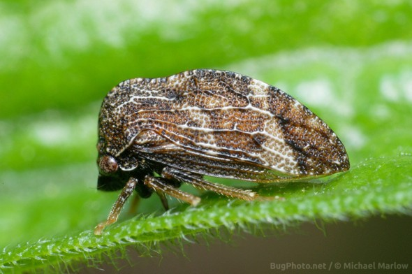 brown treehopper on a leaf