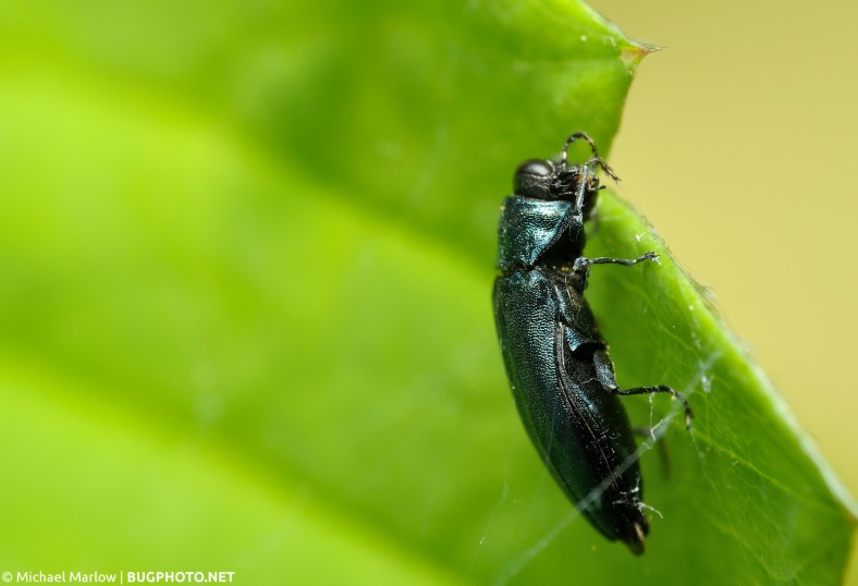 agrilus cyanescens jewel beetle cleaning itself