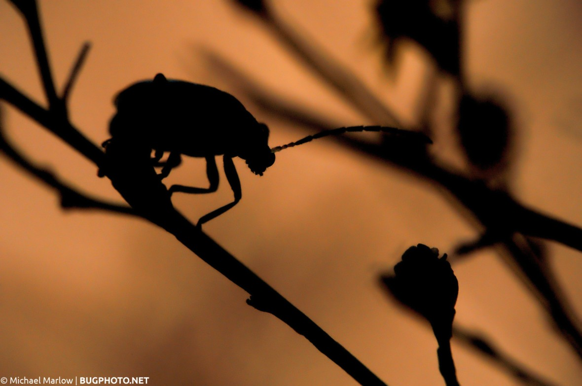 beetle on a twig in silhouette