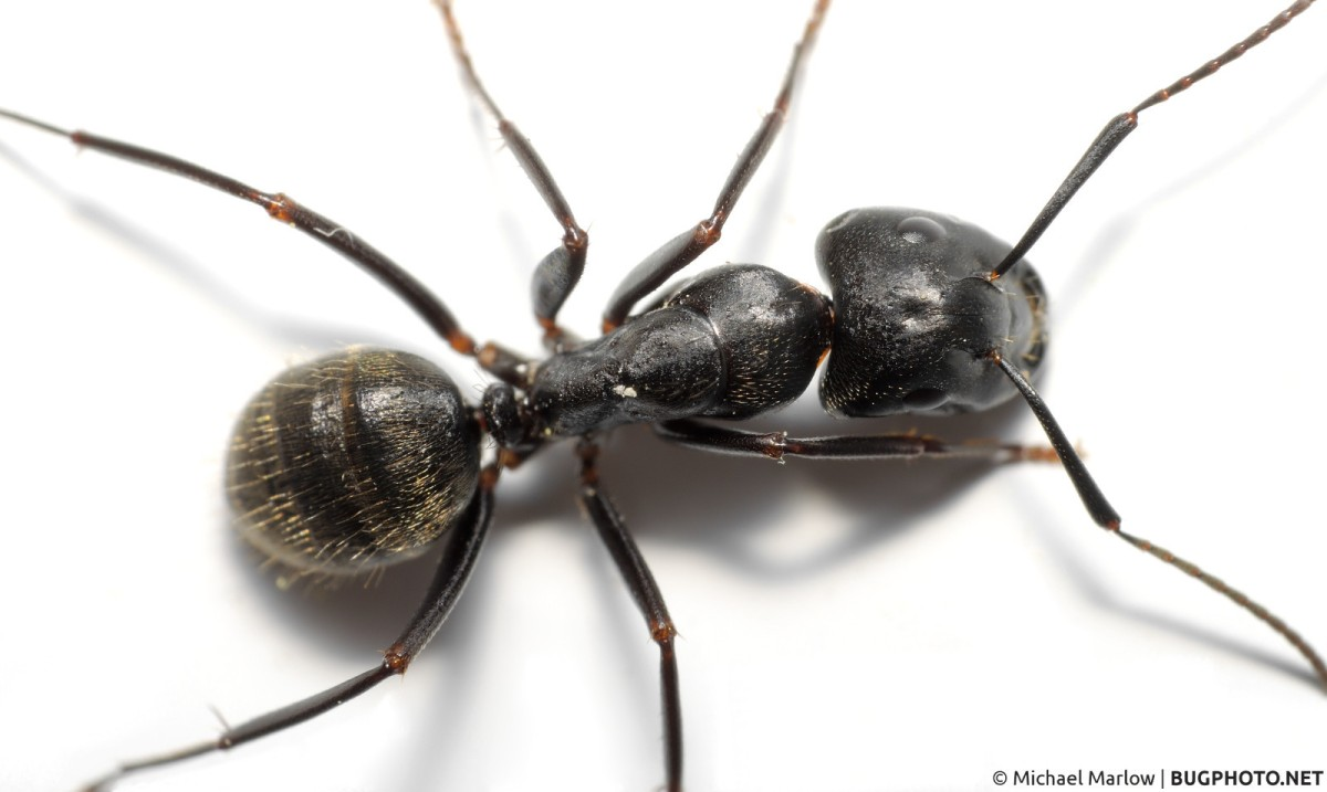 Black and White, Ant or Less
