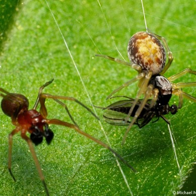 sexually dimorphic male and female mesh web weaver spiders