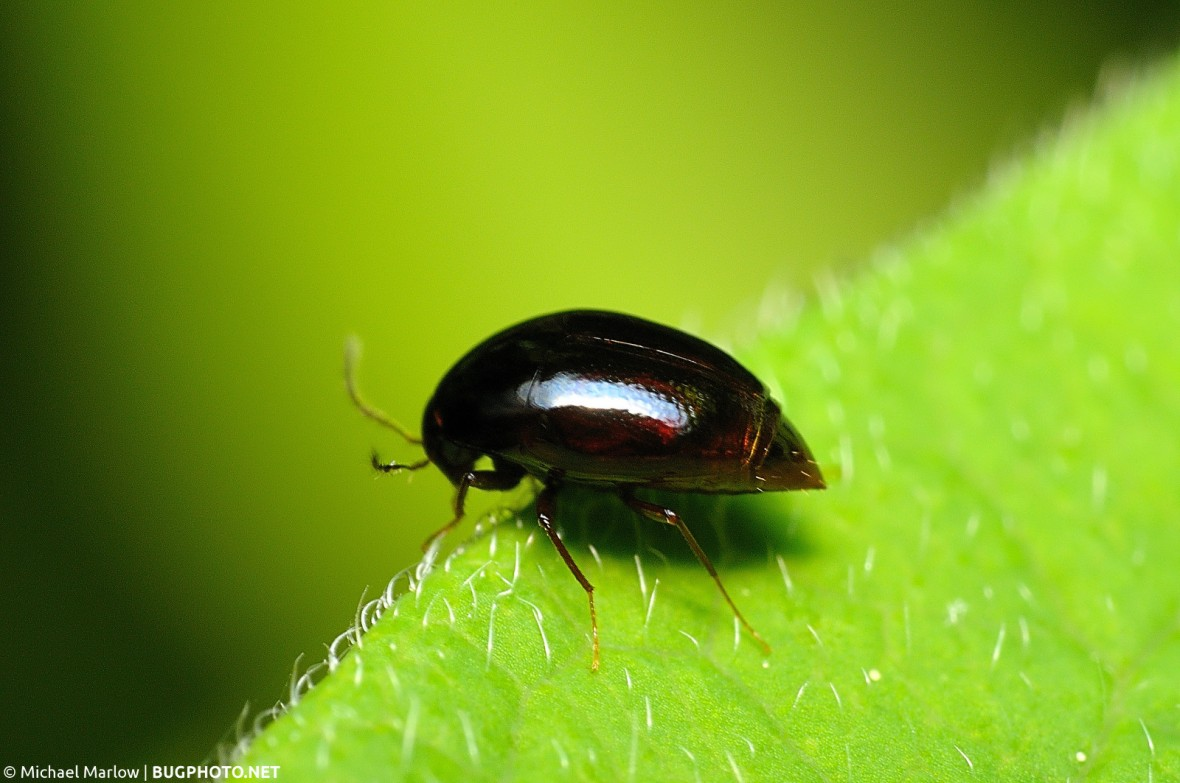 shining fungus beetle on the edge of a leaf