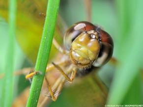 eastern amberwing dragonfly clinging to a blade of grass