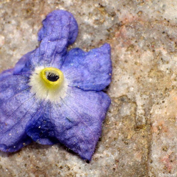 fallen blue-purple blossom with yellow center face down on stone