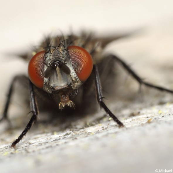 fly with bright red eyes