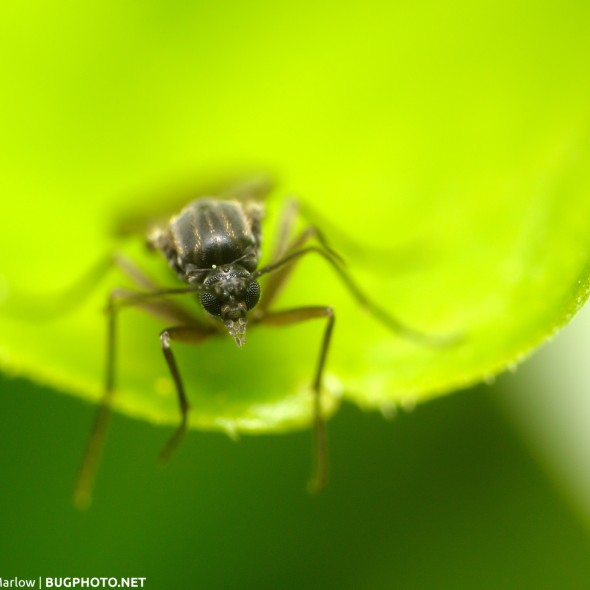 head shot of a gnat