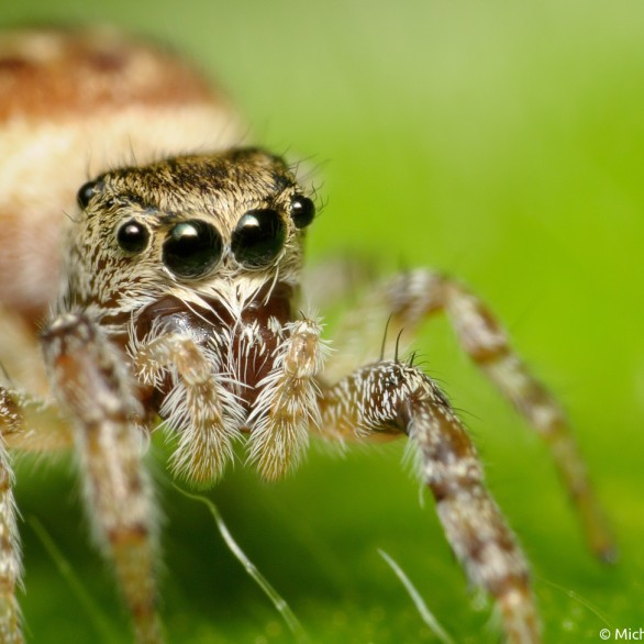 pregnant female jumping spider portrait