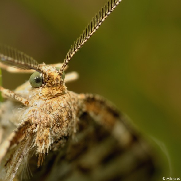moth head and antennae close up